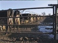 Factory farm cows in California.